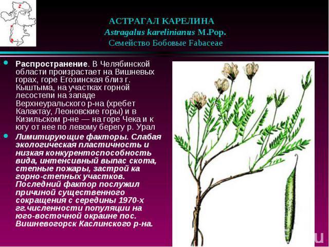 АСТРАГАЛ КАРЕЛИНА  Astragalus karelinianus M.Pop.  Семейство Бобовые Fabaceae Распространение. В Челябинской области произрастает на Вишневых горах, горе Егозинская близ г. Кыштыма, на участках горной лесостепи на западе Верх…