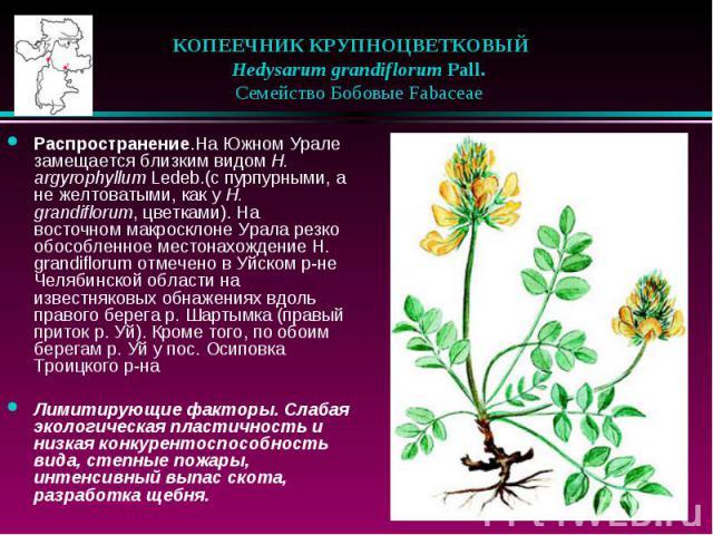 КОПЕЕЧНИК КРУПНОЦВЕТКОВЫЙ  Hedysarum grandiflorum Pall.  Семейство Бобовые Fabaceae Распространение.На Южном Урале замещается близким видом H. argyrophyllum Ledeb.(с пурпурными, а не желтоватыми, как у H. grandiflorum, цветка…