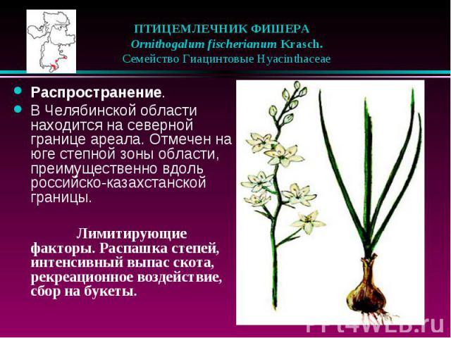 ПТИЦЕМЛЕЧНИК ФИШЕРА  Ornithogalum fischerianum Krasch.  Семейство Гиацинтовые Hyacinthaceae Распространение. В Челябинской области находится на северной границе ареала. Отмечен на юге степной зоны области, преимущественно вдо…