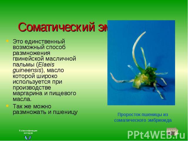Соматический эмбриогенез Это единственный возможный способ размножения гвинейской масличной пальмы (Elaeis guineensis), масло которой широко используется при производстве маргарина и пищевого масла. Так же можно размножать и пшеницу