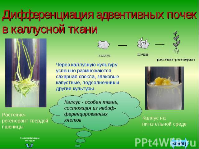 Дифференциация адвентивных почек в каллусной ткани