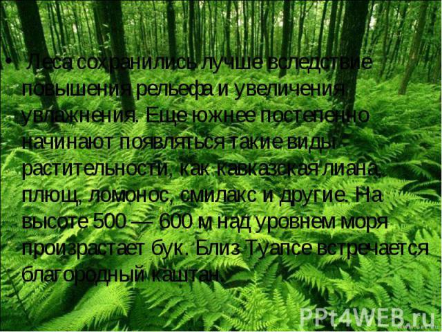 Леса сохранились лучше вследствие повышения рельефа и увеличения увлажнения. Еще южнее постепенно начинают появляться такие виды растительности, как кавказская лиана, плющ, ломонос, смилакс и другие. На высоте 500 — 600 м над уровнем моря произраста…