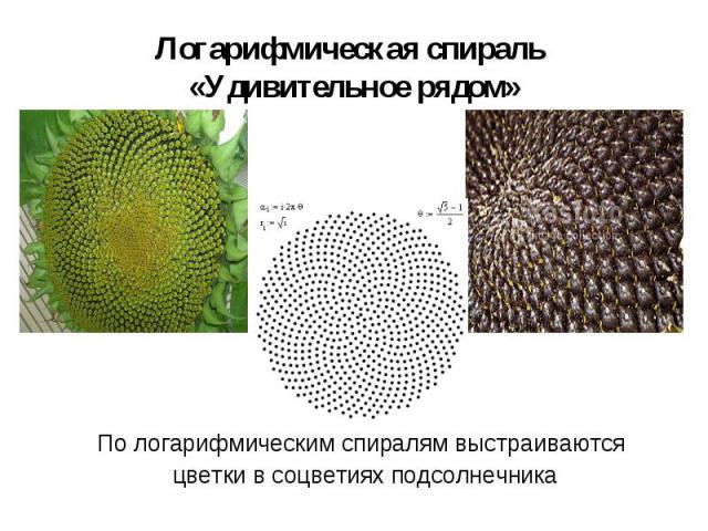 По логарифмическим спиралям выстраиваются По логарифмическим спиралям выстраиваются цветки в соцветиях подсолнечника