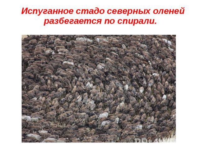 Испуганное стадо северных оленей разбегается по спирали. Испуганное стадо северных оленей разбегается по спирали.