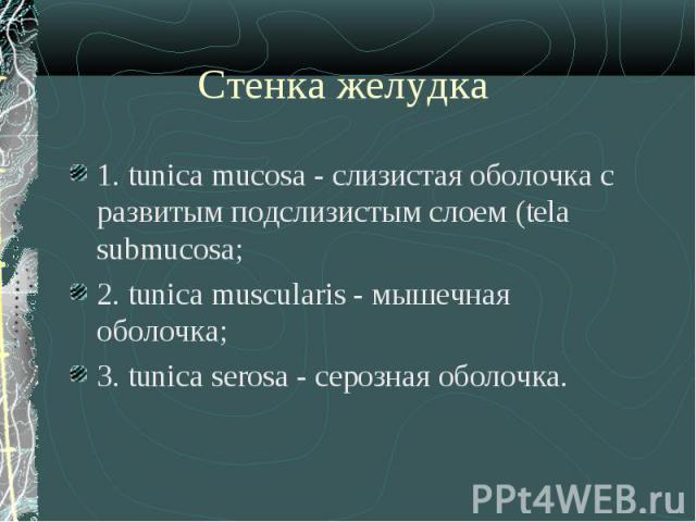 1. tunica mucosa - слизистая оболочка с развитым подслизистым слоем (tela submucosa; 1. tunica mucosa - слизистая оболочка с развитым подслизистым слоем (tela submucosa; 2. tunica muscularis - мышечная оболочка; 3. tunica serosa - серозная оболочка.
