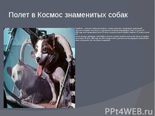 Полет в Космос знаменитых собак Бе лка и Стре лка—советские собаки-к