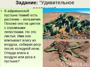 В африканской пустыне Намиб есть растение – вельвичия. Похоже оно на цветок с ог