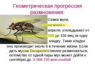 Самка мухи, Самка мухи, начиная с апреля, откладывает от 100 до 150 яиц за одну