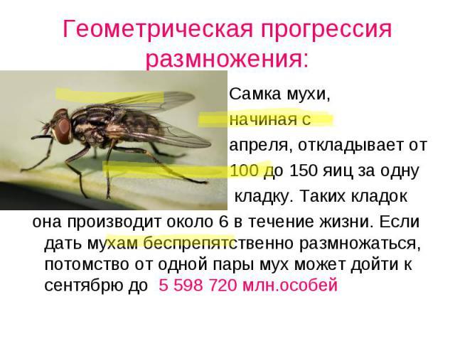 Самка мухи, Самка мухи, начиная с апреля, откладывает от 100 до 150 яиц за одну кладку. Таких кладок она производит около 6 в течение жизни. Если дать мухам беспрепятственно размножаться, потомство от одной пары мух может дойти к сентябрю до 5 598 7…