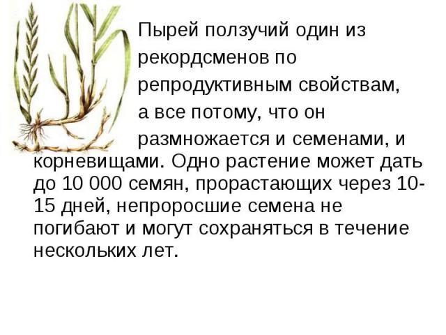 Пырей ползучий один из  Пырей ползучий один из рекордсменов по репродуктивным свойствам, а все потому, что он размножается и семенами, и корневищами. Одно растение может дать до 10 000 семян, прорастающих через 10-15 дней, непроросшие с…