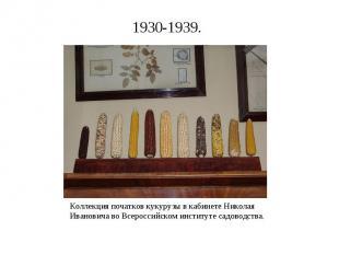 Коллекция початков кукурузы в кабинете Николая Ивановича во Всероссийском инстит