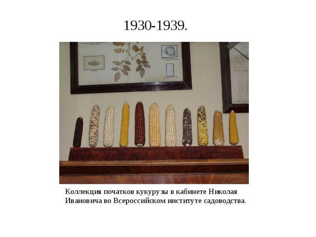 Коллекция початков кукурузы в кабинете Николая Ивановича во Всероссийском институте садоводства. Коллекция початков кукурузы в кабинете Николая Ивановича во Всероссийском институте садоводства.