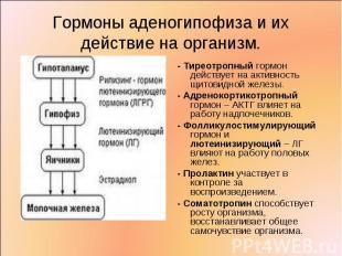- Тиреотропный гормон действует на активность щитовидной железы. - Тиреотропный