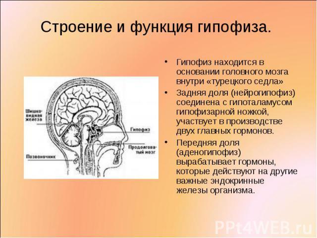 Гипофиз находится в основании головного мозга внутри «турецкого седла» Гипофиз находится в основании головного мозга внутри «турецкого седла» Задняя доля (нейрогипофиз) соединена с гипоталамусом гипофизарной ножкой, участвует в производстве двух гла…
