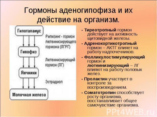 - Тиреотропный гормон действует на активность щитовидной железы. - Тиреотропный гормон действует на активность щитовидной железы. - Адренокортикотропный гормон – АКТГ влияет на работу надпочечников. - Фолликулостимулирующий гормон и лютеинизирующий …