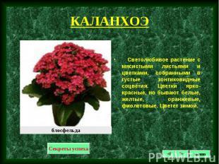 Светолюбивое растение с мясистыми листьями и цветками, собранными в густые зонти