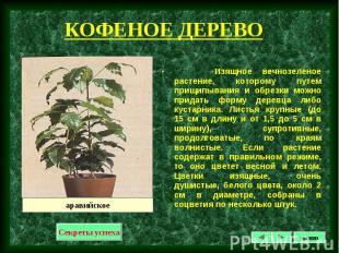 Изящное вечнозеленое растение, которому путем прищипывания и обрезки можно прида