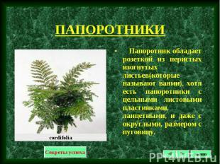 Папоротник обладает розеткой из перистых изогнутых листьев(которые называют ваям