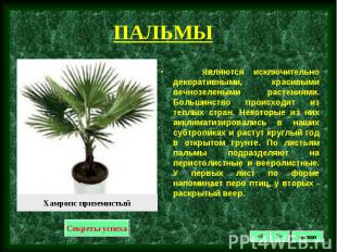 Являются исключительно декоративными, красивыми вечнозелеными растениями. Больши