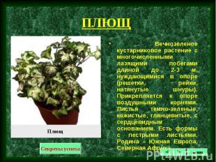 Вечнозеленое кустарниковое растение с многочисленными лазящими побегами длиной д