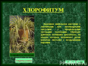 Красивое ампельное растение с линейными или мечевидными листьями с продольными п