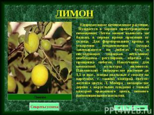 Неприхотливое вечнозеленое растение. Нуждается в хорошо проветриваемом помещении