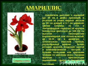 Луковичное растение с огромной (до 20 см в диам.) луковицей, и розеткой из ремне