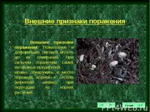 Внешние признаки поражения: Пожелтение и деформация листьев вплоть до их отмиран