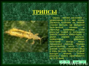 Трипcы - мелкие насекомые с удлиненным (1-1,5 мм) телом. Держатся группами на ни