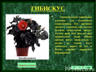 Замечательное одиночное растение для солнечного подоконника. Его крупные цветки