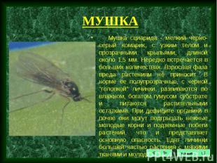 Мушка сциарида - мелкий черно-серый комарик, с узким телом и прозрачными крыльям