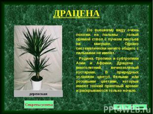 По внешнему виду очень похожи на пальмы - голый прямой ствол с пучком листьев на