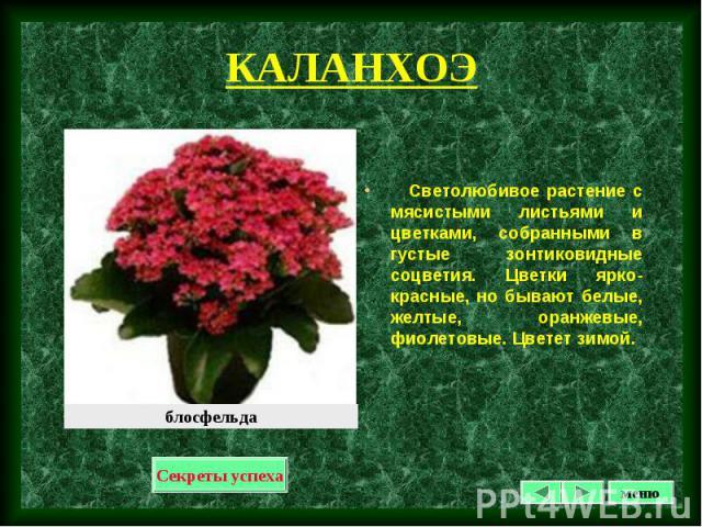 Светолюбивое растение с мясистыми листьями и цветками, собранными в густые зонтиковидные соцветия. Цветки ярко-красные, но бывают белые, желтые, оранжевые, фиолетовые. Цветет зимой. Светолюбивое растение с мясистыми листьями и цветками, собранными в…