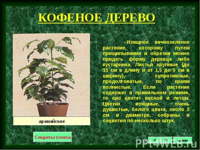 Изящное вечнозеленое растение, которому путем прищипывания и обрезки можно придать форму деревца либо кустарника. Листья крупные (до 15 см в длину и от 1,5 до 5 см в ширину), супротивные, продолговатые, по краям волнистые. Если растение содержат в п…