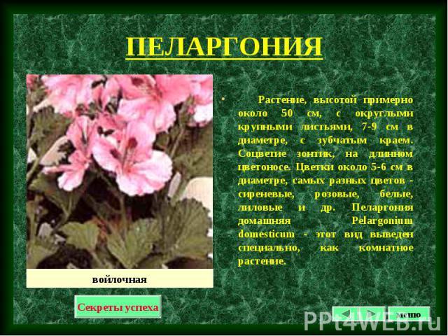Растение, высотой примерно около 50 см, с округлыми крупными листьями, 7-9 см в диаметре, с зубчатым краем. Соцветие зонтик, на длинном цветоносе. Цветки около 5-6 см в диаметре, самых разных цветов - сиреневые, розовые, белые, лиловые и др. Пеларго…