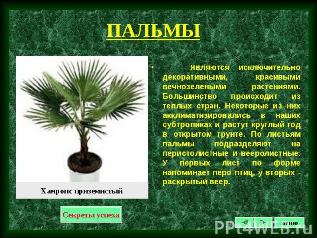 Являются исключительно декоративными, красивыми вечнозелеными растениями. Большинство происходит из теплых стран. Некоторые из них акклиматизировались в наших субтропиках и растут круглый год в открытом грунте. По листьям пальмы подразделяют на пери…