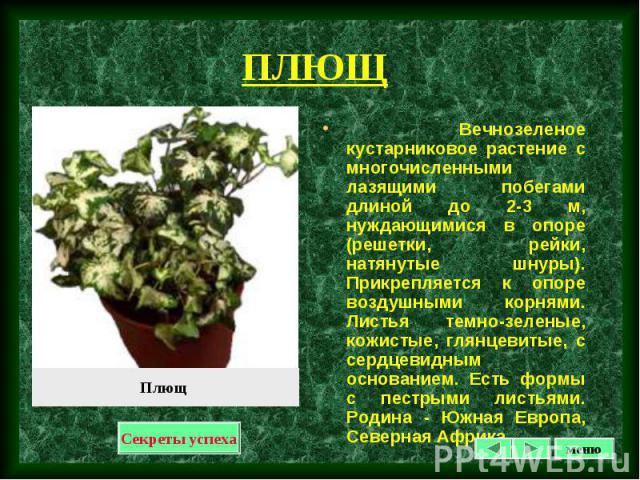 Вечнозеленое кустарниковое растение с многочисленными лазящими побегами длиной до 2-3 м, нуждающимися в опоре (решетки, рейки, натянутые шнуры). Прикрепляется к опоре воздушными корнями. Листья темно-зеленые, кожистые, глянцевитые, с сердцевидным ос…