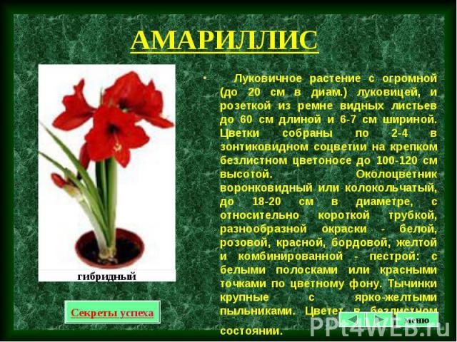 Луковичное растение с огромной (до 20 см в диам.) луковицей, и розеткой из ремне видных листьев до 60 см длиной и 6-7 см шириной. Цветки собраны по 2-4 в зонтиковидном соцветии на крепком безлистном цветоносе до 100-120 см высотой. Околоцветник воро…