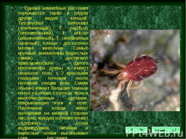 Однако комнатные растения поражаются также и рядом других видов клещей: Tetranychus turkestani (земляничный), Т. pacificus (тихоокеанский), T. urticae (обыкновенный), T. cinnabarinus (красный). Клещи - достаточно мелкие животные. Самые крупные экзем…