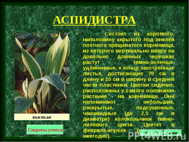 Состоит из короткого, наполовину скрытого под землей плотного хрящеватого корневища, из которого вертикально вверх на довольно длинных черешках растут темно-зеленые, удлиненные, к концу заостренные листья, достигающие 70 см в длину и 10 см в ширину …