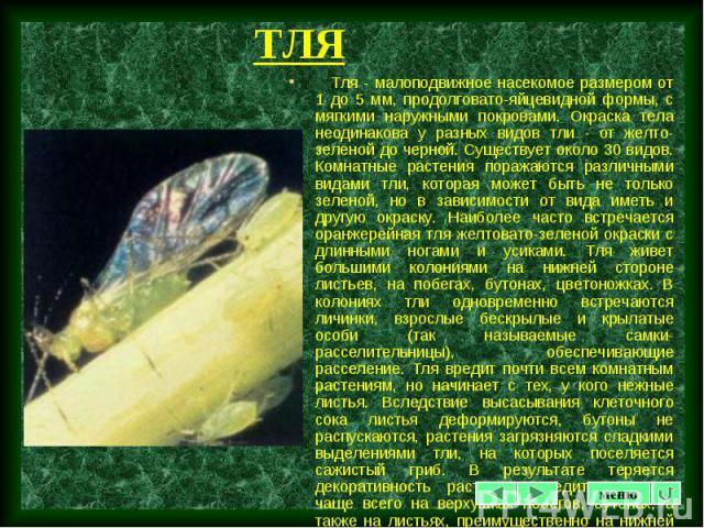 Тля - малоподвижное насекомое размером от 1 до 5 мм, продолговато-яйцевидной формы, с мягкими наружными покровами. Окраска тела неодинакова у разных видов тли - от желто-зеленой до черной. Существует около 30 видов. Комнатные растения поражаются раз…