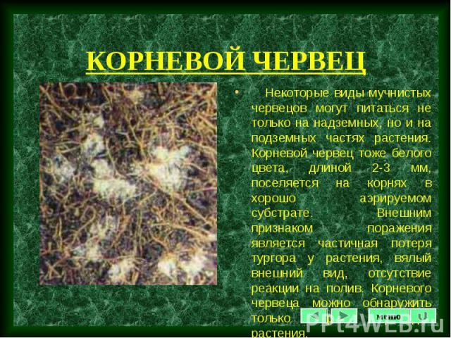 Некоторые виды мучнистых червецов могут питаться не только на надземных, но и на подземных частях растения. Корневой червец тоже белого цвета, длиной 2-3 мм, поселяется на корнях в хорошо аэрируемом субстрате. Внешним признаком поражения является ча…