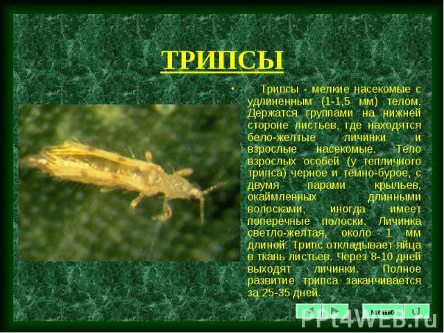 Трипcы - мелкие насекомые с удлиненным (1-1,5 мм) телом. Держатся группами на нижней стороне листьев, где находятся бело-желтые личинки и взрослые насекомые. Тело взрослых особей (у тепличного трипса) черное и темно-бурое, с двумя парами крыльев, ок…