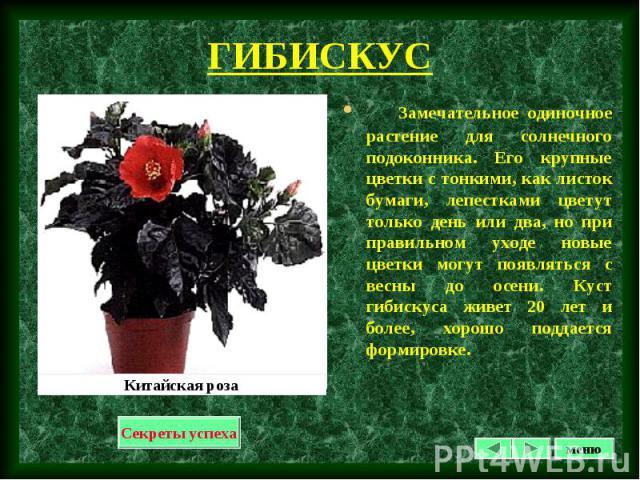 Замечательное одиночное растение для солнечного подоконника. Его крупные цветки с тонкими, как листок бумаги, лепестками цветут только день или два, но при правильном уходе новые цветки могут появляться с весны до осени. Куст гибискуса живет 20 лет …