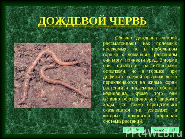 Обычно дождевых червей рассматривают как полезных насекомых, но в небольшом горшке с домашним растениям они могут принести вред. В норме они питаются растительными остатками, но в горшке при дефиците свежей органики легко переключаются на живые корн…