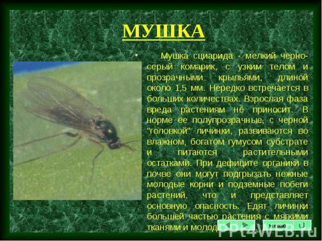 """Мушка сциарида - мелкий черно-серый комарик, с узким телом и прозрачными крыльями, длиной около 1,5 мм. Нередко встречается в больших количествах. Взрослая фаза вреда растениям не приносит. В норме ее полупрозрачные, с черной """"головкой"""" ли…"""