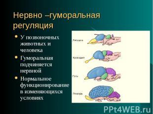 У позвоночных животных и человека У позвоночных животных и человека Гуморальная
