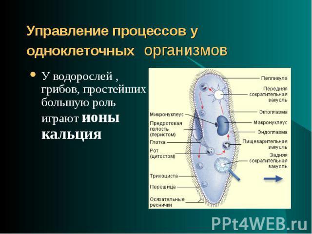 У водорослей , грибов, простейших большую роль играют ионы кальция У водорослей , грибов, простейших большую роль играют ионы кальция