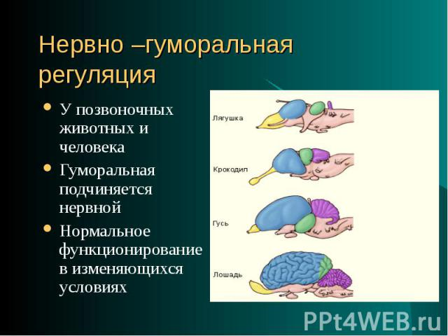 У позвоночных животных и человека У позвоночных животных и человека Гуморальная подчиняется нервной Нормальное функционирование в изменяющихся условиях