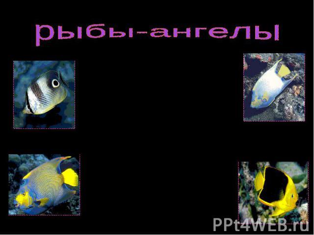 РЫБЫ-АНГЕЛЫ, несколько родов рыб (Pomacanthus, Centropyge и др.) семейства щетинозубов. РЫБЫ-АНГЕЛЫ, несколько родов рыб (Pomacanthus, Centropyge и др.) семейства щетинозубов. Типичные обитатели коралловых рифов. Отличаются необычайно яркой окраской…